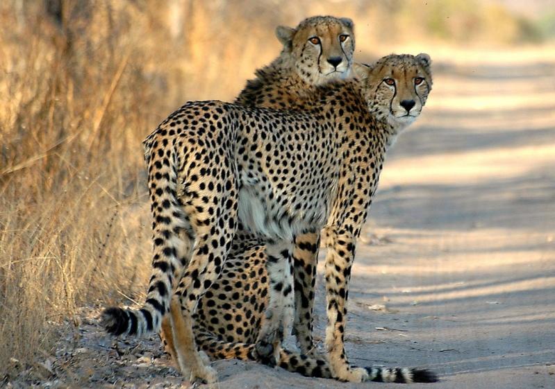 Два печальных гепарда. Фото