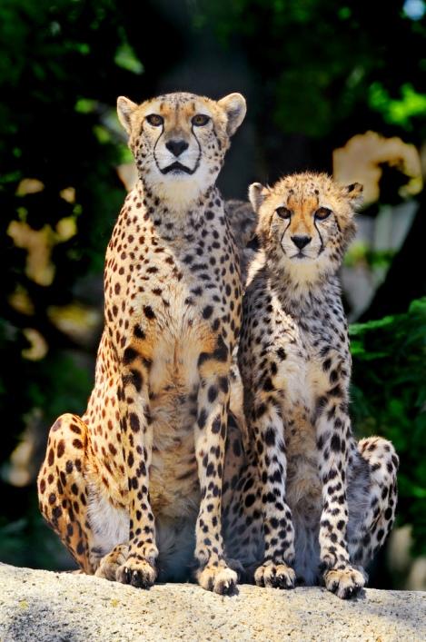 Два гепарда. Фото
