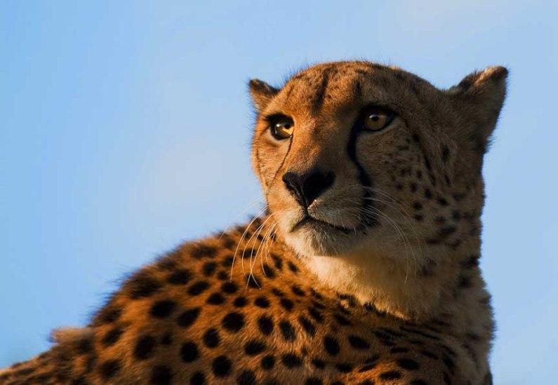 Морда гепарда крупным планом. Фото