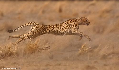 Бегущий гепард. Фото