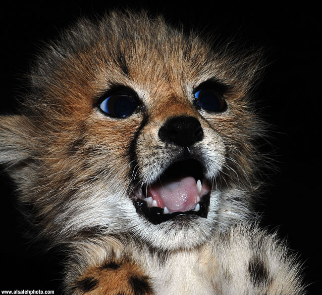 Поражённый гепардёнок. Фото