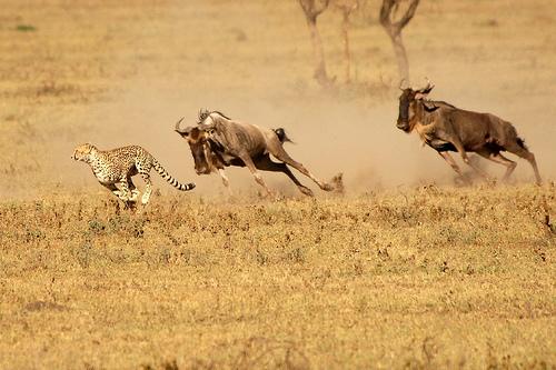 Гепард бежит наперегонки с антилопами гну. Фото
