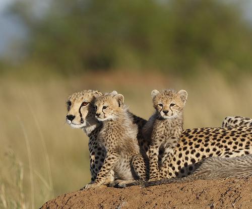Гепард с детьми. Фото