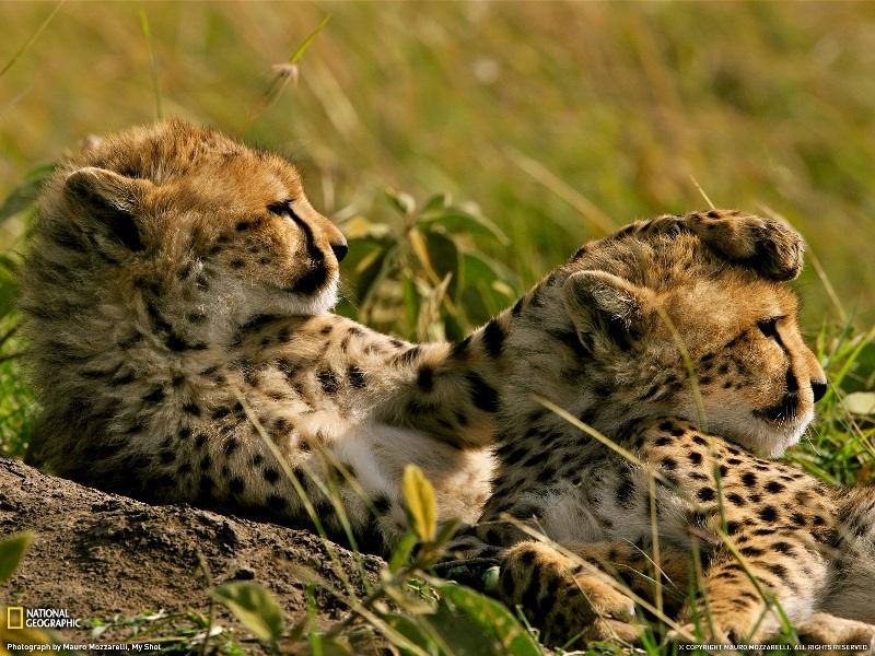Гепард наложил лапу на другого гепарда. Фото