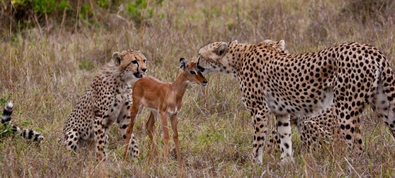 Дружба гепардов и детеныша антилопы. Фото