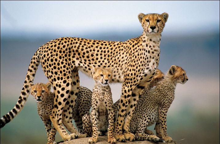 Гепард с детенышами. Фото