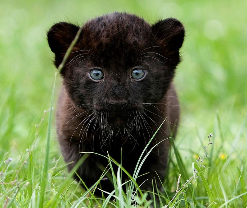 Детёныш черной пантеры. Фото