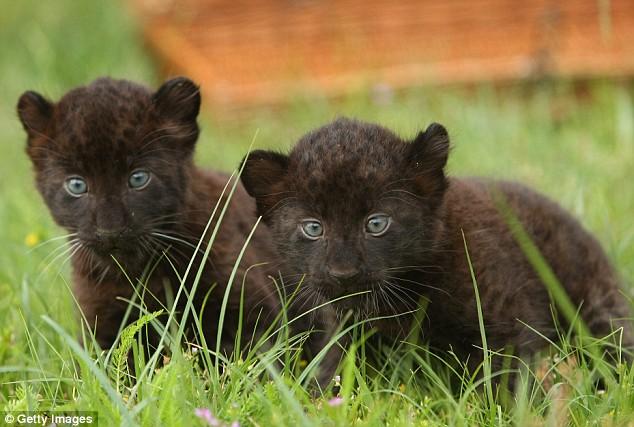 Черные пантерята с глазами цвета морской волны. Фото
