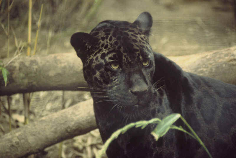 Охотница пантера. Фото