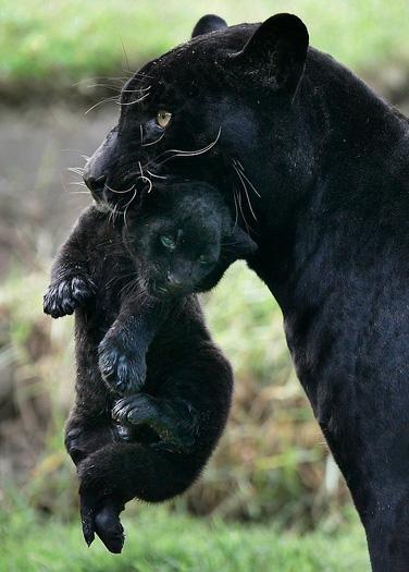 Черная пантера с детенышем в зубах. Фото