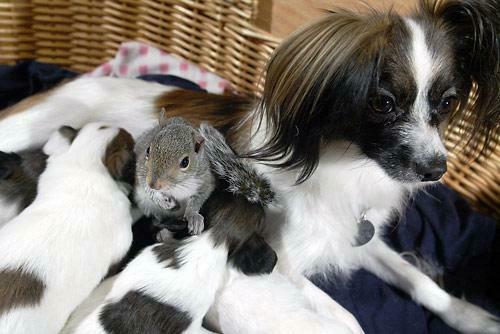 Бельчонок среди кормящихся щенков. Фото