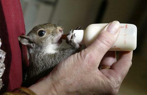 Бельчонка кормят из бутылочки. Фото