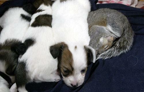 Бельчонок спит рядом со щенками. Фото