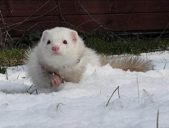 Белый хорек на снегу. Фото