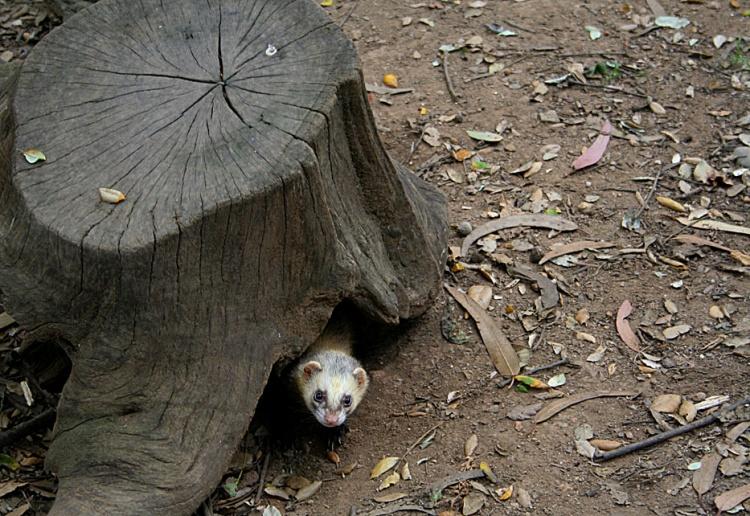 Лесной хорек выглядывает из-под пня. Фото