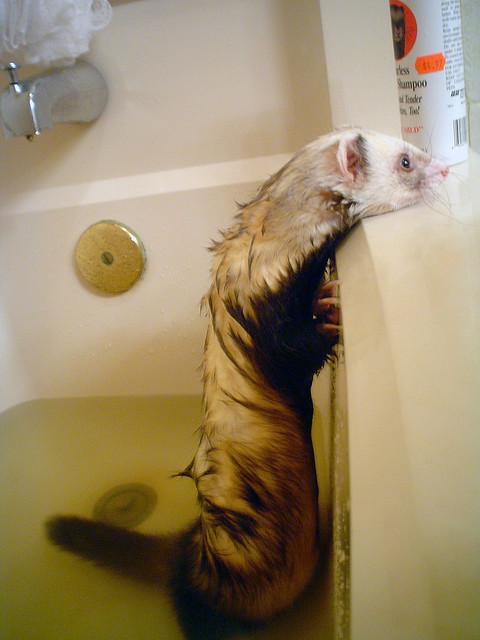 Мокрый хорек в ванне. Фото