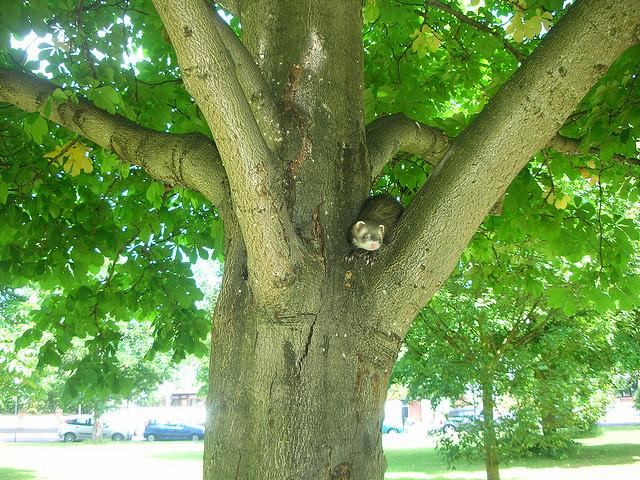 Хорек на дереве. Фото