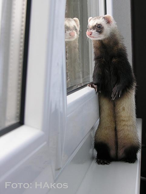 Хорек стоит у окна и смотрит вдаль :). Фото