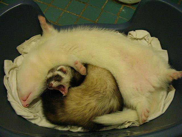 Спящие хорьки. Фото