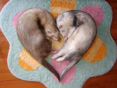 Два хорька спят. Фото