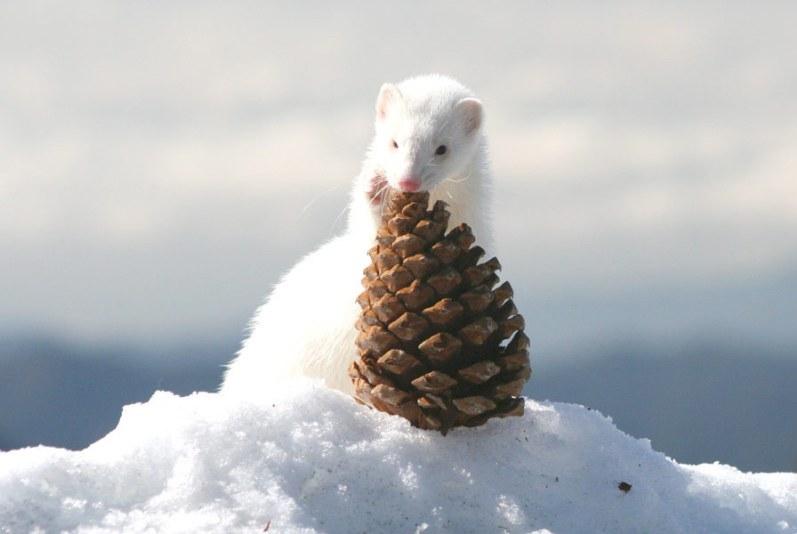 Белый хорек зимой грызет шишку. Фото