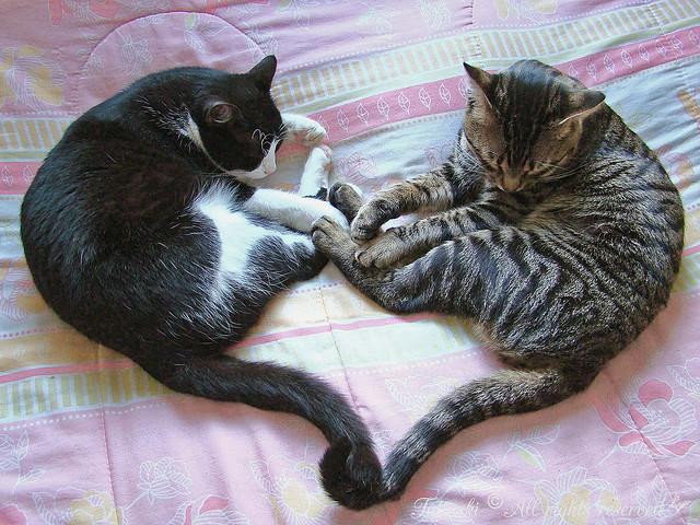 Одно большое сердце из двух котов. Фото
