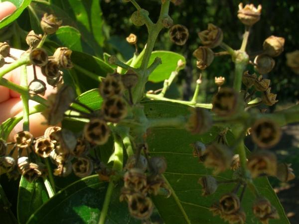 Созревшие плоды радужного эвкалипта. Фото