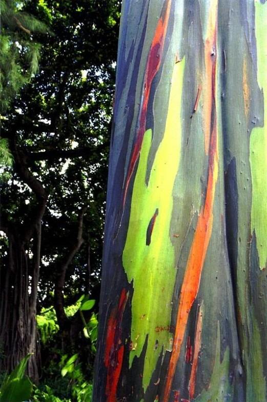 Кора радужного эвкалипта меняет цвет. Фото