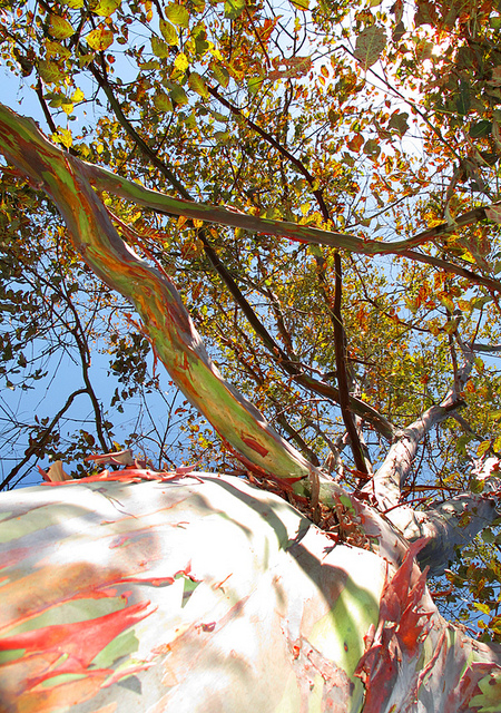 �������� �������� (Eucalyptus deglupta). ����