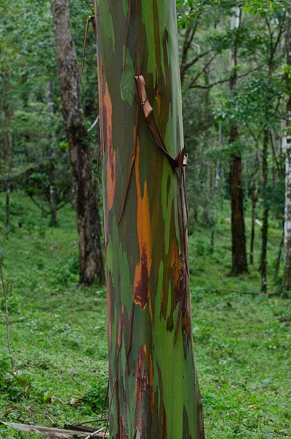 Радужный эвкалипт (Eucalyptus deglupta). Фото