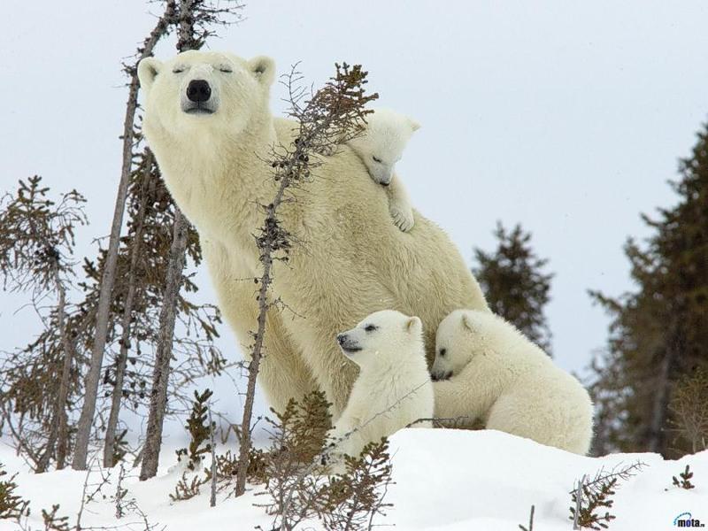 Самый крупный наземный хищник - белый медведь. Фото