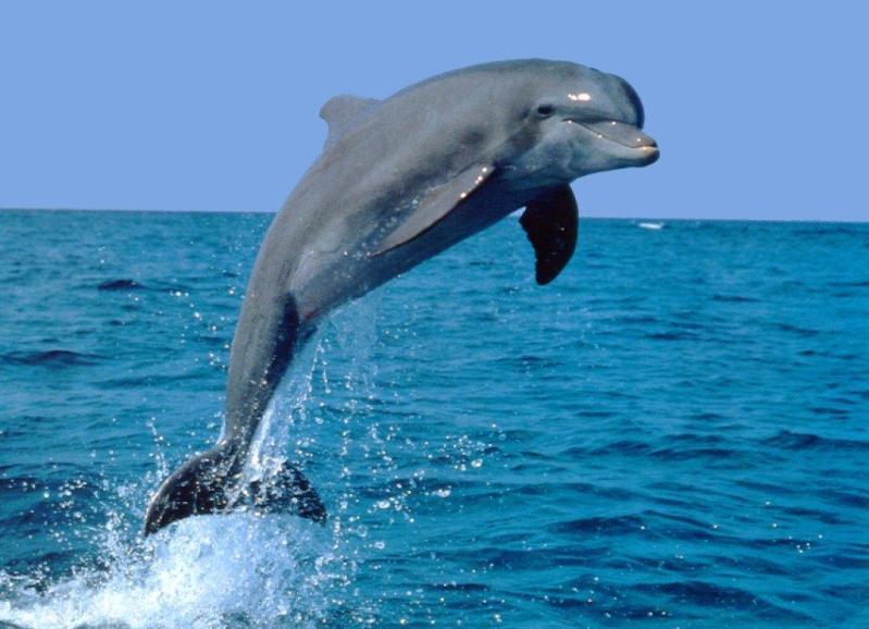 дельфин-афалина. Фото