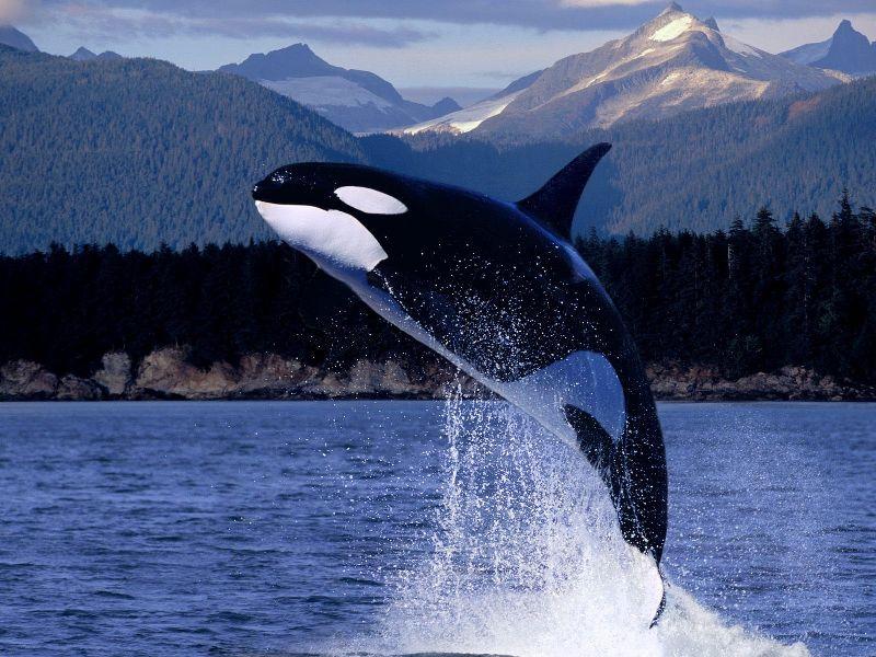 Самое быстрое морское млекопитающее - косатка. Фото