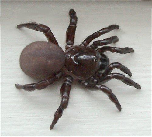 люковый паук. Фото