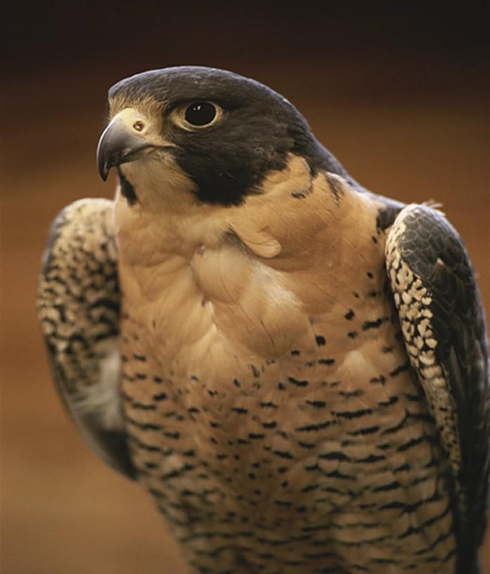 Самая быстрая птица - сапсан. Фото