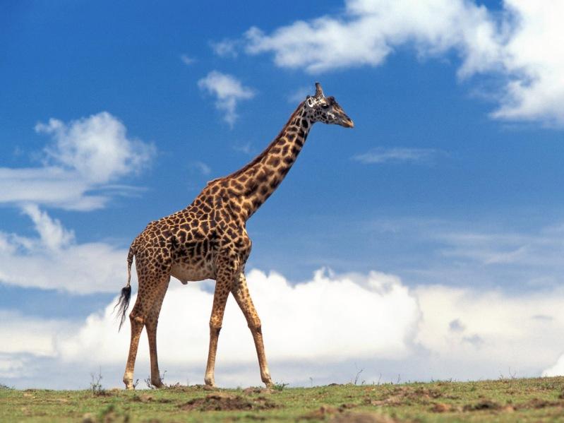 Самое высокое наземное животное планеты - жираф. Фото