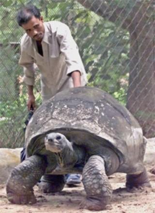 Самое долгоживущее наземное животное индийская гигантская черепаха Адвайта. Фото