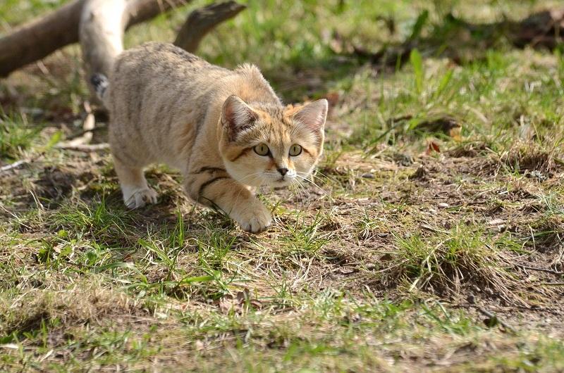 Барханный кот. Фото