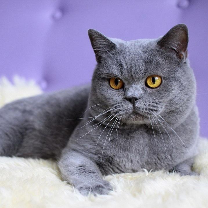 британка фото кошки