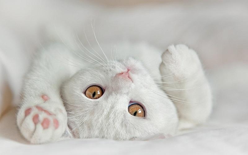 Британская кошка: описание породы, фото, где купить | Мур ТВ | 502x800