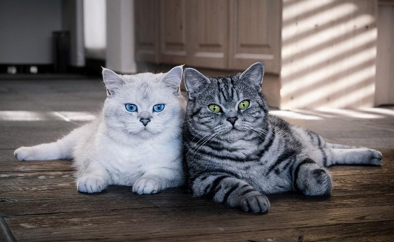 БРИТАНСКИЙ КОТЕНОК 4 месяца. ПОВЕДЕНИЕ британского котенка - как ... | 492x800