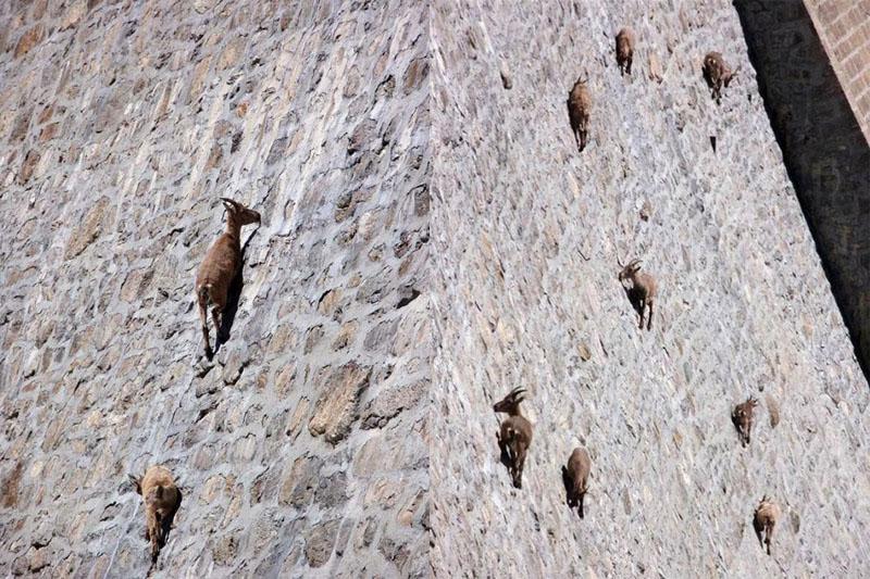 фото горных козлов
