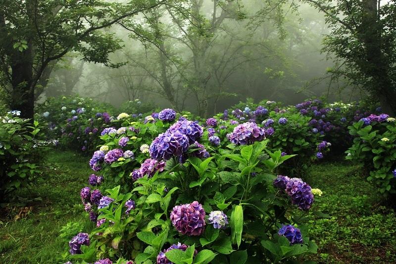 Гортензия садовая (описание, уход). Фото
