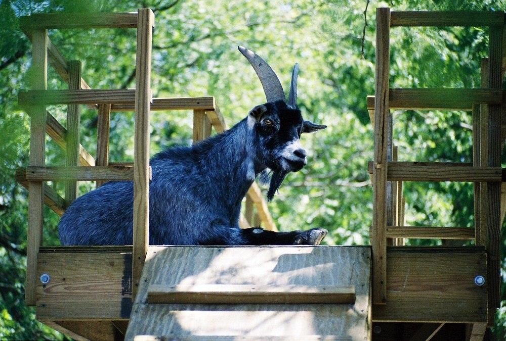 символ 2015 года синяя коза. картинки