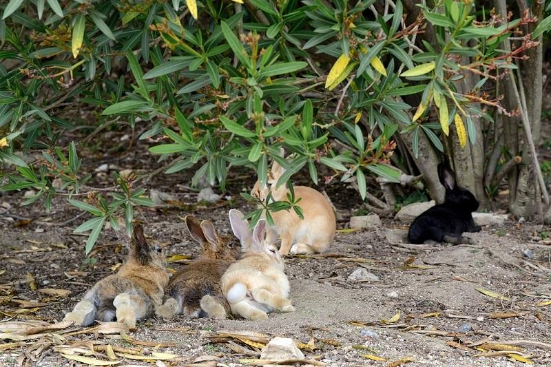 Окуносима - остров кроликов в Японии. Фото