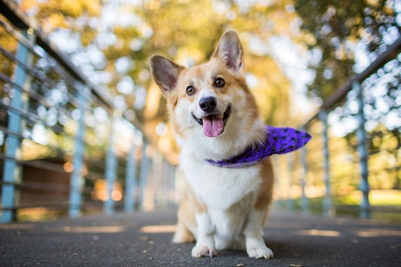 корги фото порода собак