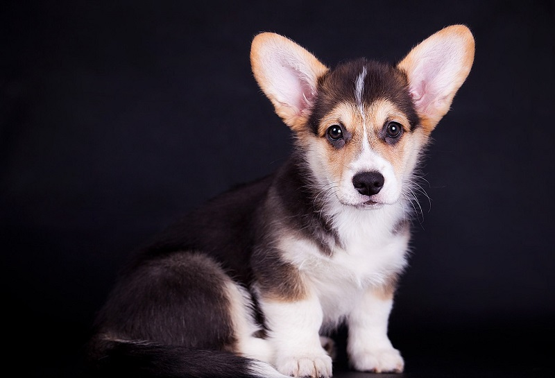 Порода собак вельш-корги. Фото