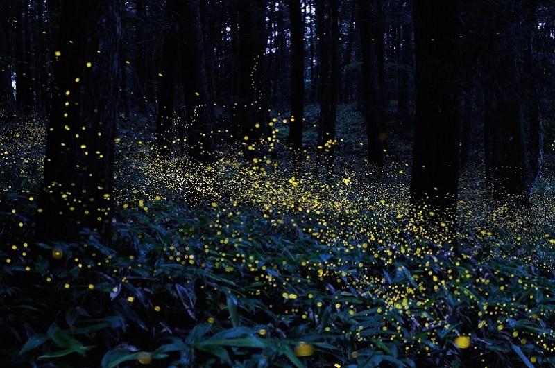 Светлячки в лесах Японии