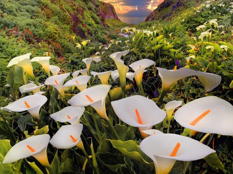 Цветы каллы в калифорнийской долине. Фото