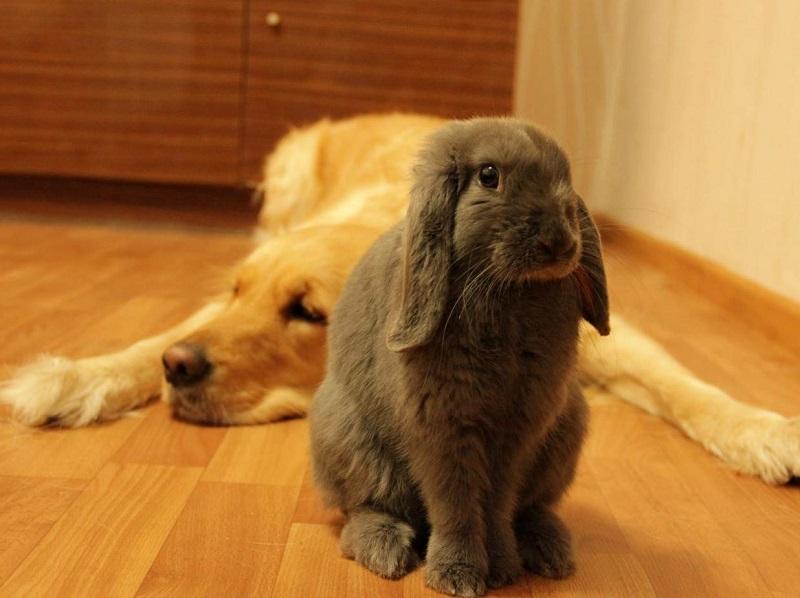 Вислоухие кролики породы карликовый баран. Фото